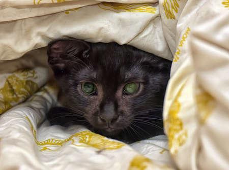 moggi: Shorthair kitten young black kitten