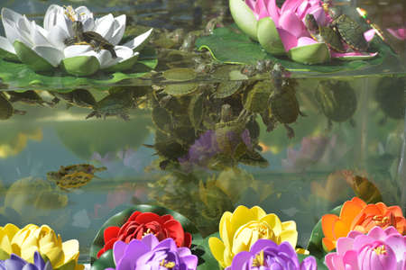 Small turtles in the aquarium on sale. Banque d'images