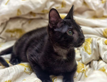 moggi: Young teen shorthair kitten