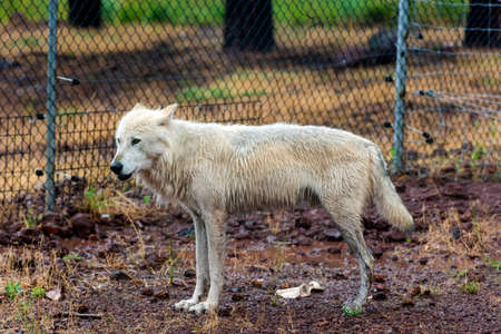 White wolf in the rain, Bearizona Wildlife Park.