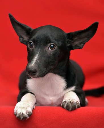 half blooded: Eared black with a white dog half-breed on a red background