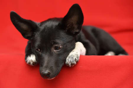 Black with white fluffy dog ??on a red background. Stock Photo