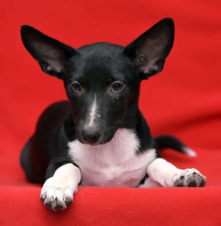 close up eyes: black and white puppy mongrel on a red background