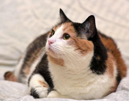 average: More than average short-haired calico cat. Stock Photo