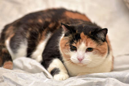 calico whiskers: More than average short-haired calico cat. Stock Photo