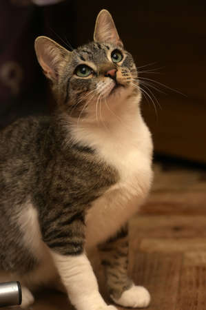 The impressive striped domestic cat lies on a sofa.