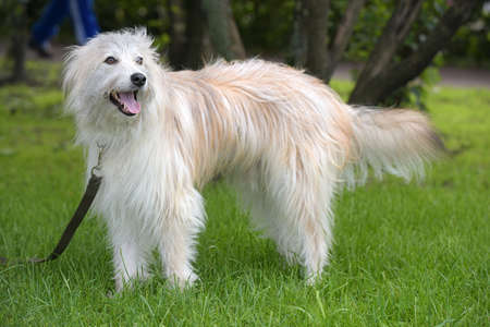 White dog breed Terrier