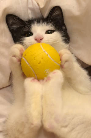 Black with white kitten playing with a yellow ball. Stock Photo
