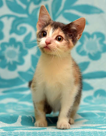 A small short-haired kitten on a blue background.