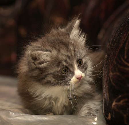 concern: adorable fluffy kitten smoky Stock Photo