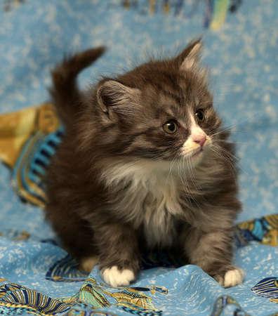adorable fluffy kitten smoky Stock Photo