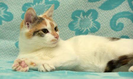 calico whiskers: Young tricolor shorthair cat lies at home couch