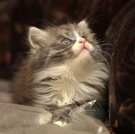 cat grooming: adorable fluffy kitten smoky Stock Photo