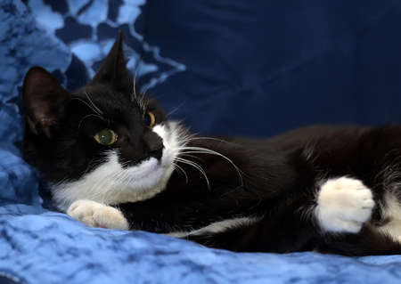black and white cat on a blue background