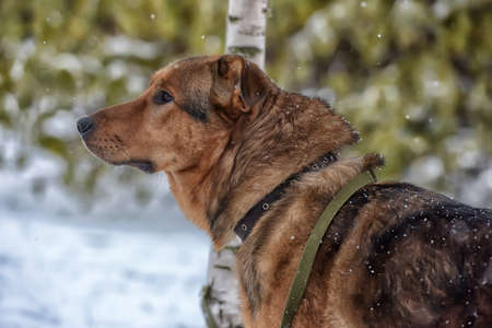 Brown mongrel dog on a leash in winter. Stock Photo