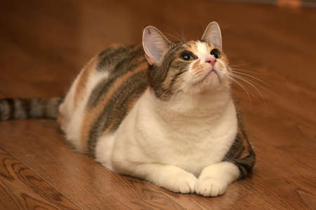 more mature: Fat cat playing on the wooden floor.