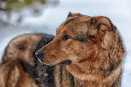 mongrel: Brown mongrel dog on a leash in winter. Stock Photo