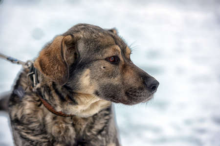 leaden: Brown with gray mongrel dog in winter on snow. Stock Photo
