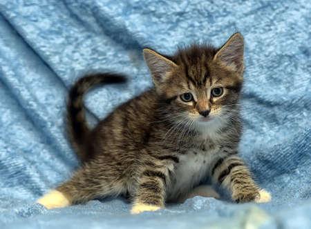 Cute kitten on a blue background.