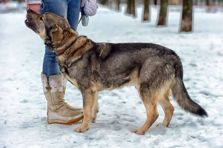 Brown with gray mongrel dog in winter on snow. Stock Photo