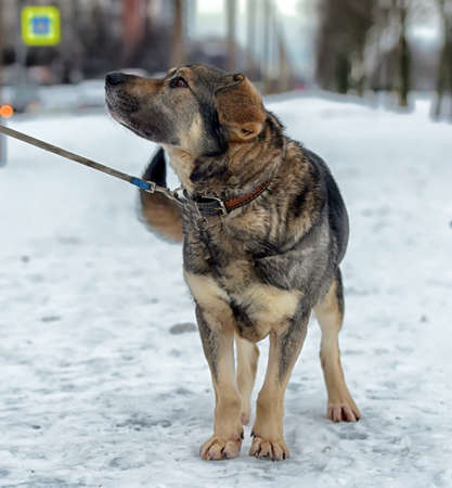 lurid: Brown with gray mongrel dog in winter on snow. Stock Photo