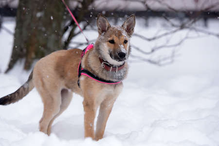 red heeler: Red puppy among snow in the winter.