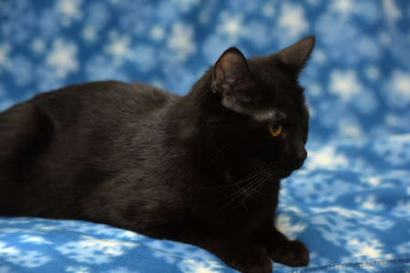 moggi: Black cat on a blue background.