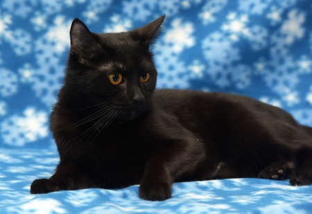 Black cat with amber eyes on a blue background Stock Photo