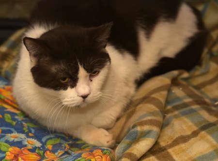 British cat white with black. Stock fotó