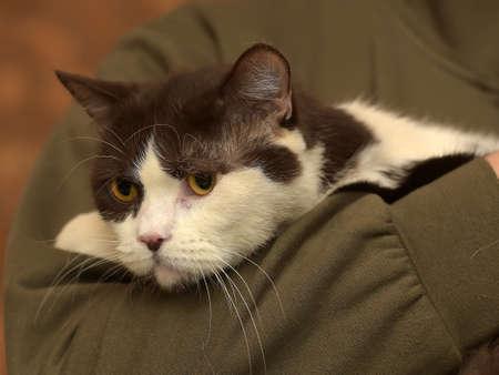 British cat In hands