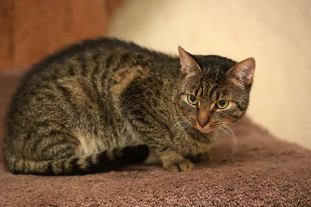 European short-haired tabby cat with green eyes