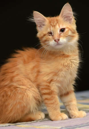 paying: Ginger the one-eyed kitten. Stock Photo