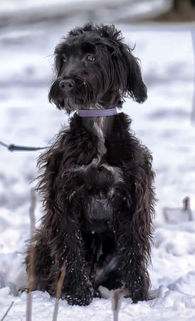 Black long-haired terrier cropped.