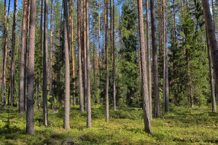 Pine forest in summer