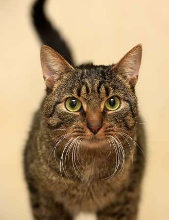 bed sheet: European short-haired tabby cat with green eyes