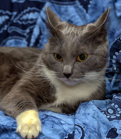 A beautiful gray cat with white on a blue background. Stock Photo