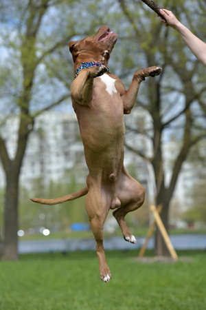 Brown American Pit Bull Terrier jumping Stock Photo