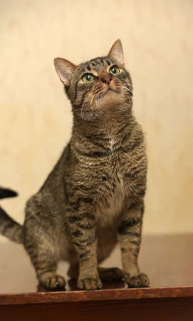 one sheet: European short-haired tabby cat with green eyes