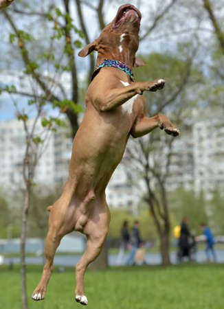 black and white pit bull: Brown American Pit Bull Terrier jumping Stock Photo