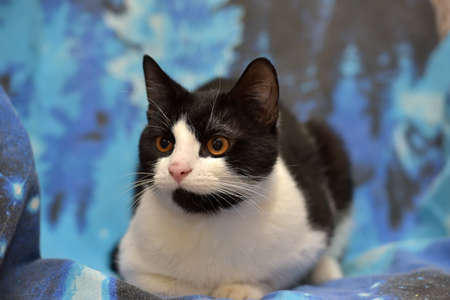 calico whiskers: Black with white short-haired cat with orange eyes lies on a blue background