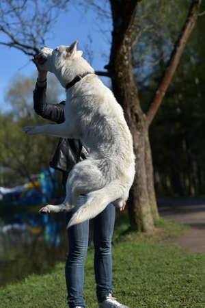 Ein weißer Hund der Husky-Rasse springt auf einen Spaziergang mit seiner Herrin, fängt Essen