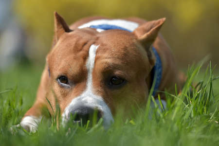 American Staffordshire Terrier lies in the grass on the lawn