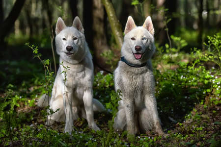 two, white, husky, in, the, forest, in, summer