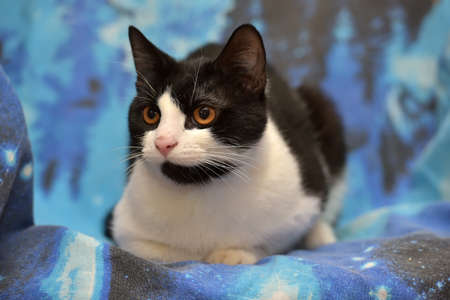 Black with white short-haired cat with orange eyes lies on a blue background