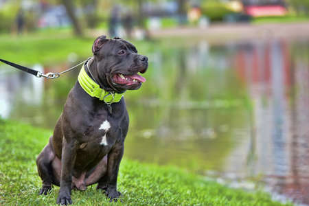 Breed American Bully, 9 months old puppy