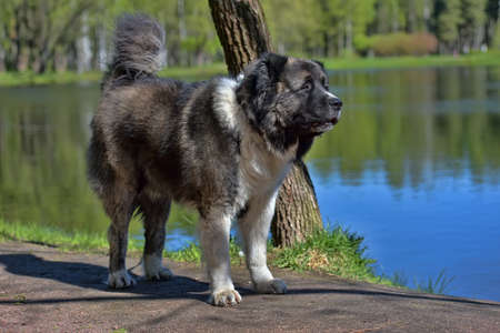 Caucasian Shepherd Dog in summer