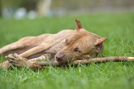 cruel: American pit bull terrier gnaws a stick