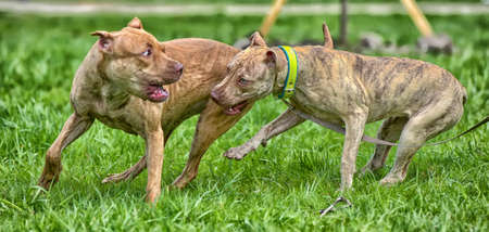 Two American pit bull terrier playing on the grass