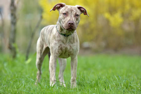 Puppy pit bull terrier 6 months old on a leash in the spring in the park Stock Photo