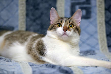 Striped with white European shorthair cat lying on a sofa on a blue background